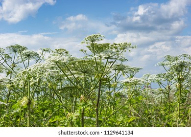 Thickets of Hogweed in an abandoned area of the field