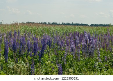 thickets of lupine, lupine blooming in the field