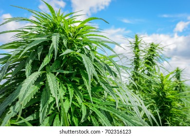 Thickets of marijuana plant on a background of blue sky