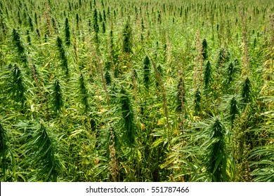Thickets of marijuana plant on the field