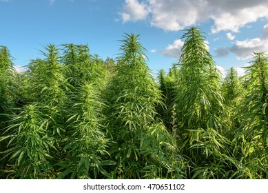 Thickets of marijuana plant on the sky background