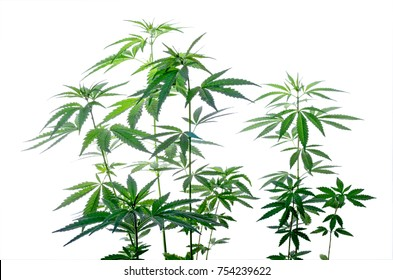 Thickets plant of marijuana isolated on a white background. Selective focus.