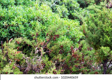 Thickets of wild juniper in the mountains of Greece