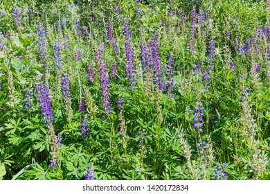 Thickets of the wild perennial lupine with blue and purple flowers and young pods of seeds on stems among tall grass