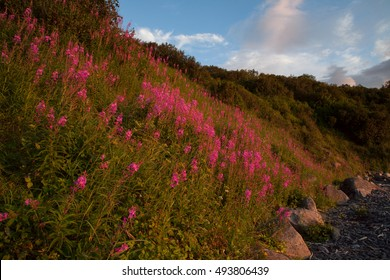 Thickets of willow-herb on a slope. Russia, Magadan region, The Sea of Okhotsk, Koni peninsula.