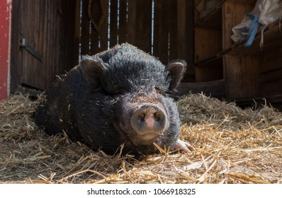A thick-furred pig spread on the straw