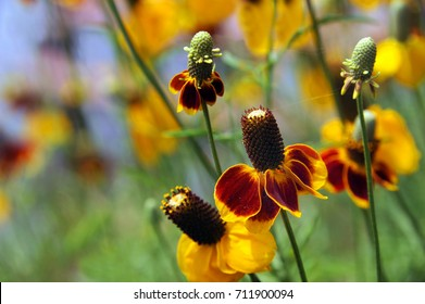 Thimble Flower also known as Mexican Hat, blooms in Arkansas Ozarks.  Long spindly stems with yellow and orange bloom.