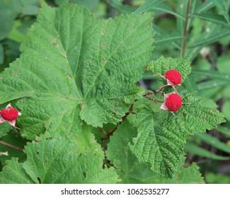 Thimbleberry (Rubus parviflorus) in Glacier National Park, Montana