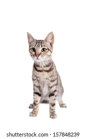 Thin adult tabby cat, isolated on white