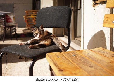 A thin cat on a chair