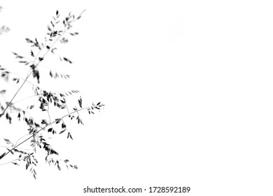 thin grass on a white background close up black and white photo