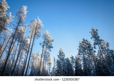 thin pines in cold winter forest