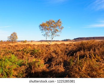 A thin Silver Birch stands in a autumnal Derbyshire landscape amidst golden ferns.