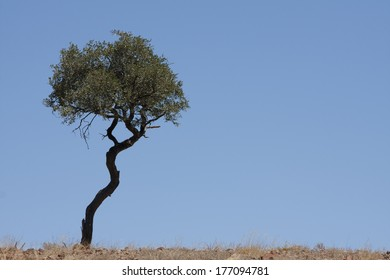 thin tree in african steppe