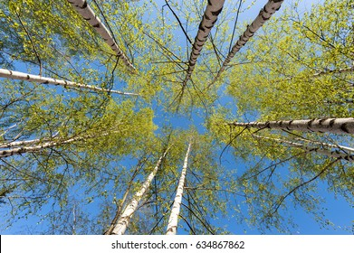 Thin trunks of silver birches with fresh green foliage against the background of the blue sky
