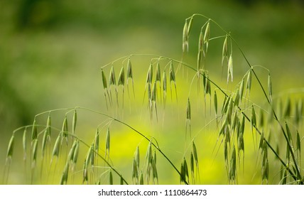 Thin twigs of green oats with many seeds