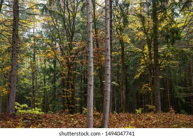 Thin, wiry trees in the autumn forest