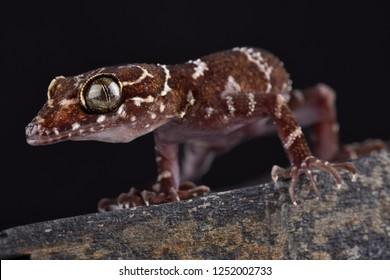 Thin-banded forest gecko (Cyrtodactylus consobrinus)
