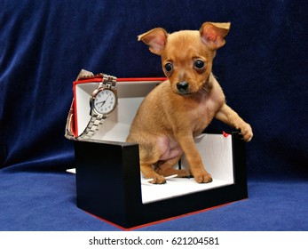 Thinking About the Time - Funny Russkiy toy (Russian toy terrier) puppy and watches of one famous brand on a blue background. The red color short-haired doggy is 2-months old in the picture.