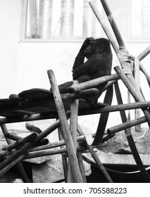 The Thinking Ape, Hellabrunn Zoo, Munich - Summer 2015. This Hellabrunn Zoo's Gorilla is preparing to take a nap on an artificial structure in a warm summer.