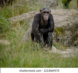 thinking  lonley ape
