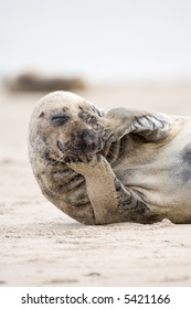 Thinking seal way. Common Seal on the beach. Helgoland, Germany.