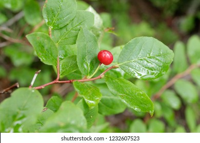 Thin-leaved Huckleberry, Carpenter Mtn, Willamette National Forest, Oregon, USA