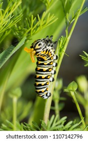 Third instar Black swallowtail butterly caterpillar on Dog Fennel, with its yellow osmeterium visible on its head for defense