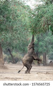 The third photo in a series of three showing the big bull elephant now up on his hind legs feeding on the lushest freshest greenest leaves and branches