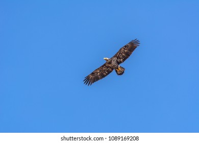 Third year immature bald eagle (Haliaeetus leucocephalus) flying in a blue sky above Westham Island in late winter, Fraser River Delta, British Columbia, Canada.