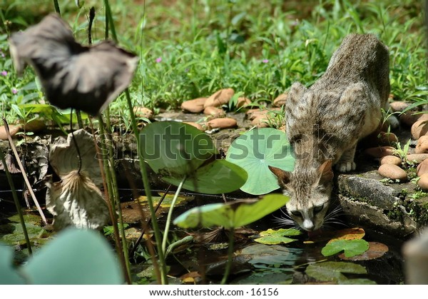 a thirsty cat drinking water from a pond