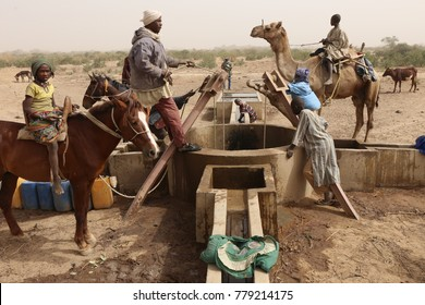 Thirsty cows drinking in a water hole near the village of Dagala in Chad and used by nomad tribes. The picture has been taken on 2nd of february 2017.