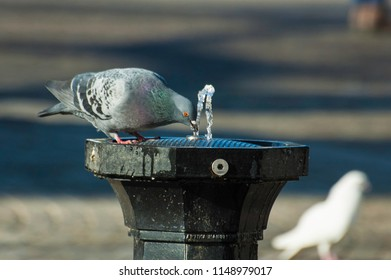 Thirsty doves are drinking water in the park