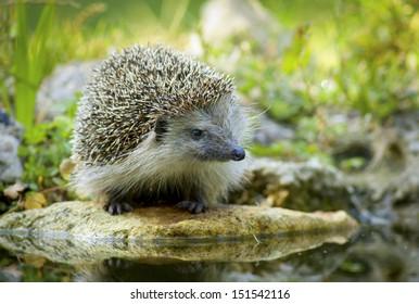 Thirsty european hedgehog
