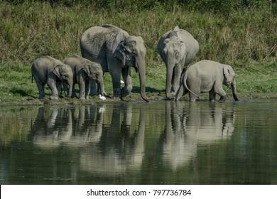 Thirsty family,  A Thirsty family of Asiatic elephant (Elephas maximus) at Kaziranga National Park, Assam, India.