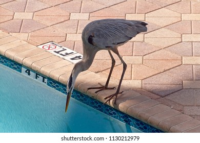 A thirsty Great Blue Heron drinks from an outdoor swimming pool during the day