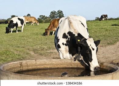 A thirsty Holstein friesland dairy cow drinking water