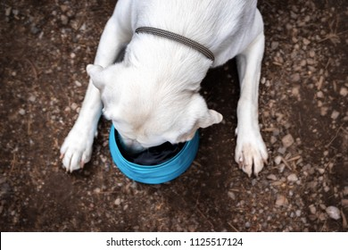 Thirsty Labrador Retriever dog drinks water from a dog bowl