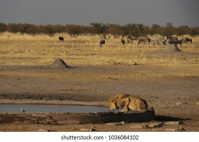 The thirsty lion king drinking isolated at a pond in the wilderness of of Damaraland desert, Namibia, Africa. Herd of zebras in the background.
