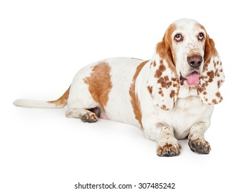 A thirsty looking Basset Hound Dog laying at an angle while looking forward.