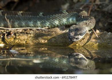 Thirsty rattlesnake with reflection takes a drink.