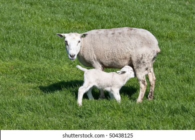 thirsty Young lamb nursed by his mother