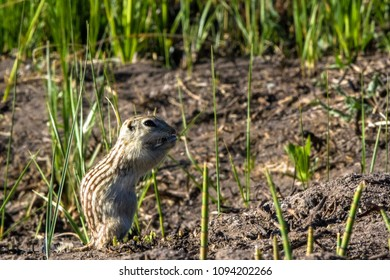 Thirteen-lined Ground Squirrel, aka striped gopher, leopard ground squirrel, squinney, feeds in its home territory in Alamosa National Wildlife Refuge in southern Colorado