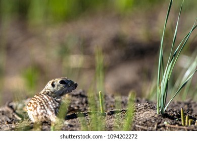 Thirteen-lined Ground Squirrel, aka striped gopher, leopard ground squirrel, squinney, in its home territory in Alamosa National Wildlife Refuge in southern Colorado