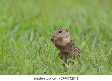 Thirteen-lined ground squirrel (Ictidomys tridecemlineatus), also called striped gopher, munching on grass seeds in the prairie