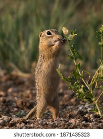 A thirteen-lined ground squirrel smells a flower in Wyoming
