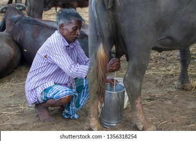Thiruvallur District, Atthipet Kattupalli, Tamil Nadu in India on March 23, 2019: Milkman or Milk Man Milking His Buffalo