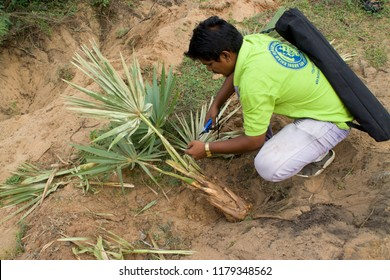 Thiruvallur District Kattupalli, Near Pulicat, Tamil Nadu  India, September 9, 2018: A Young Environmentalist Collecting Indian Palm Tree Uprooted Plants and Seeds  Under Save Palm Tree Campaign