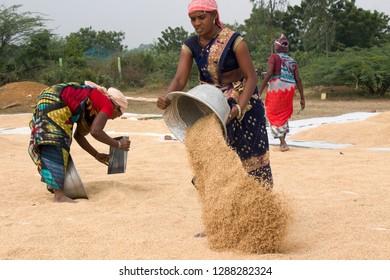 Thiruvallur District, Kattur Village, Near Minjur, Tamil Nadu in India on January 17, 2019: Women farmers drying harvested rice in Sunlight