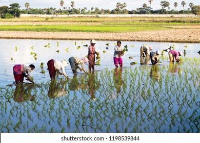 Thiruvallur District Kattur village, Tamil Nadu in India on September 30, 2018: Group of women Silhouette planting young rice plants or rice seedlings in a paddy field with Morning Sunrays